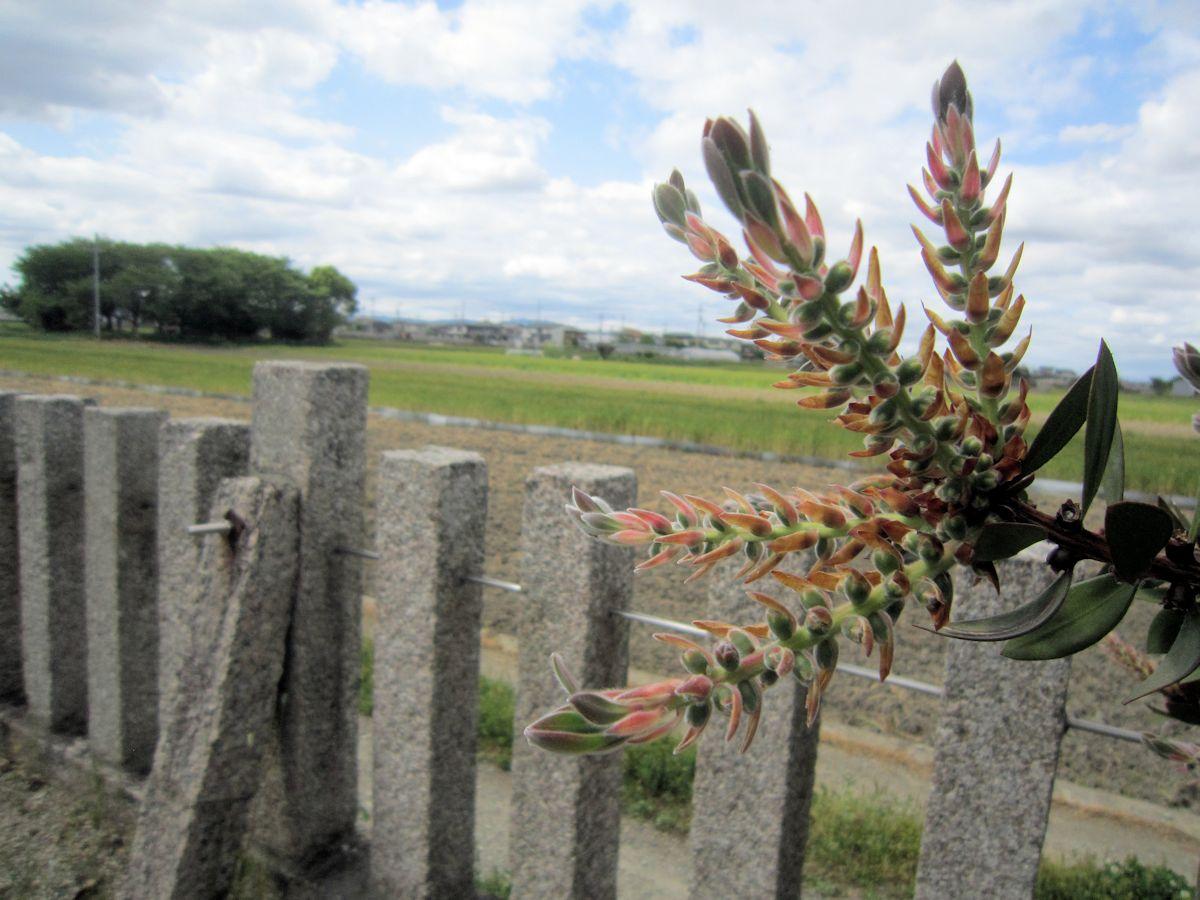姫皇子命神社のブラシの木