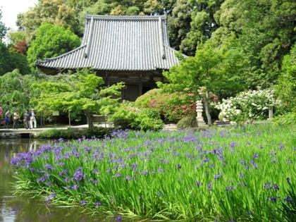 長岳寺の杜若