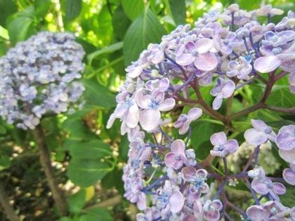 矢田寺の渦紫陽花