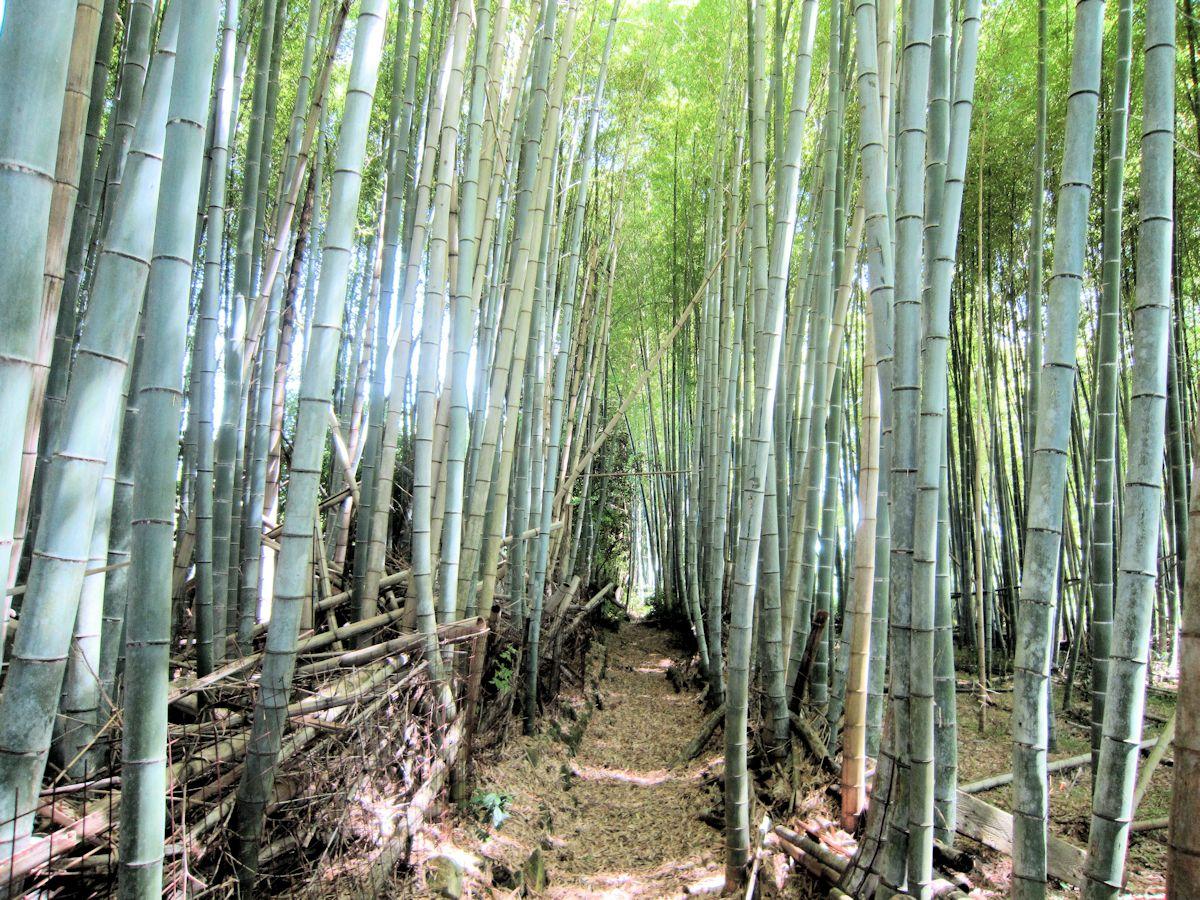 井寺池近くの竹林