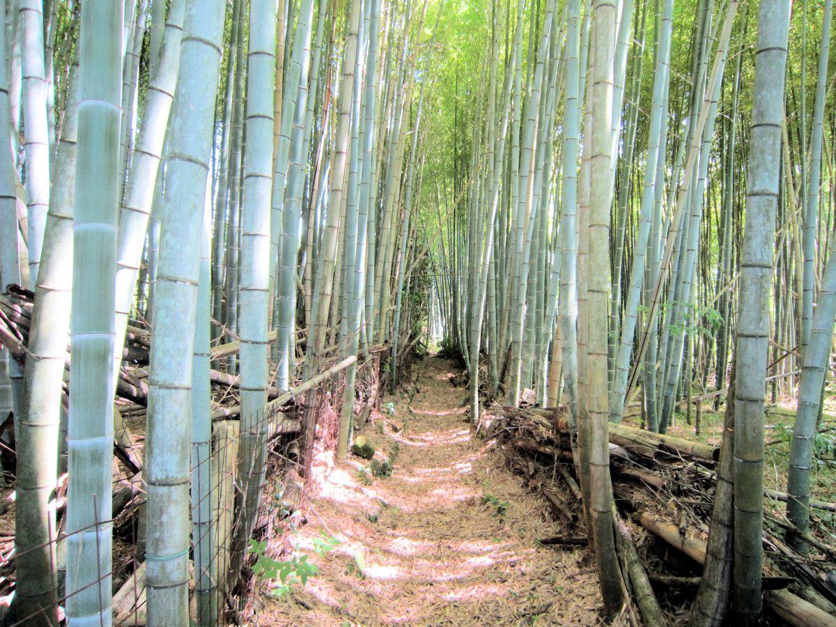 桧原神社下手の竹林