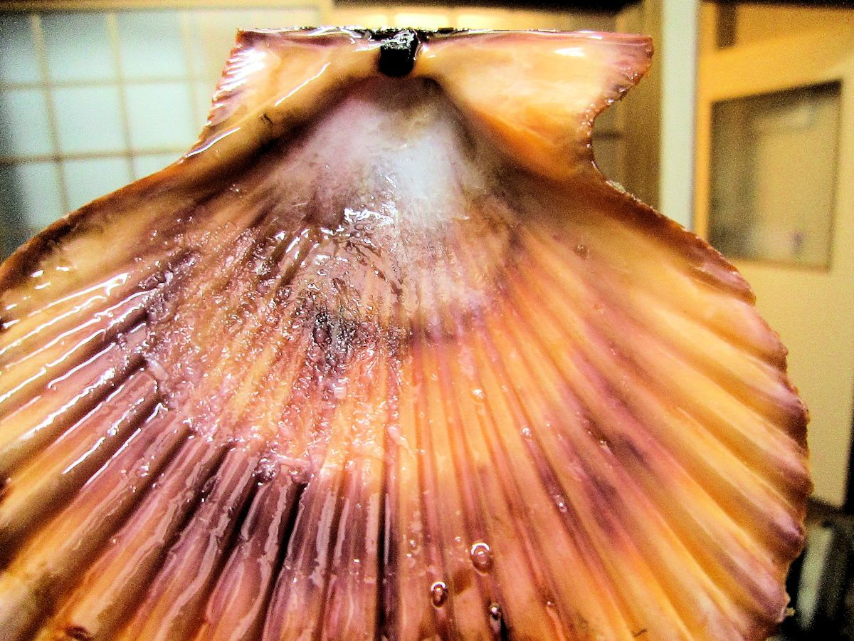 ヒオウギ貝の表殻