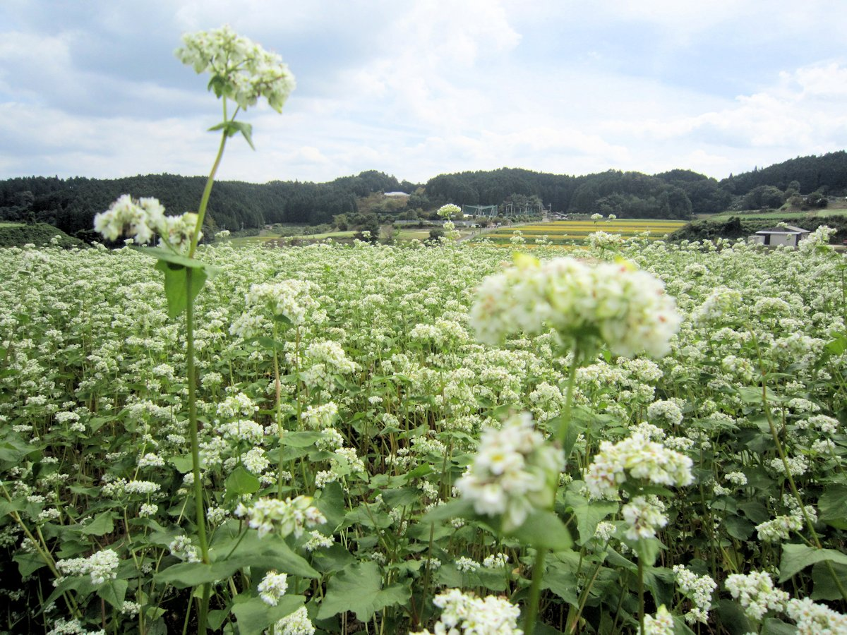 笠の蕎麦の花