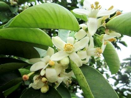 山の辺の道の蜜柑の花