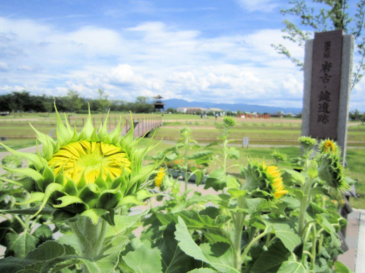 唐古鍵遺跡史跡公園の向日葵