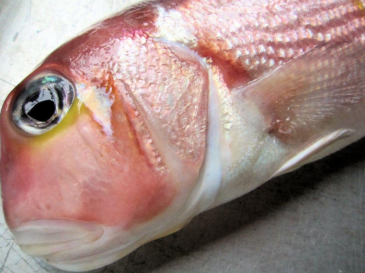 赤甘鯛の頭部と胸鰭