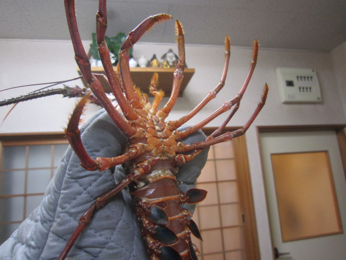 japanese spiny lobster
