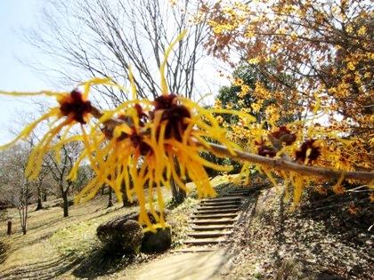 マンサクと階段