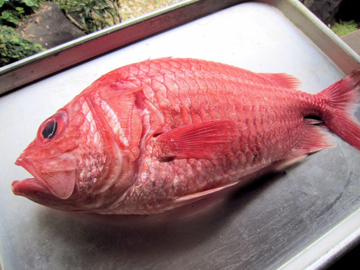 恵比寿鯛・エビスダイ