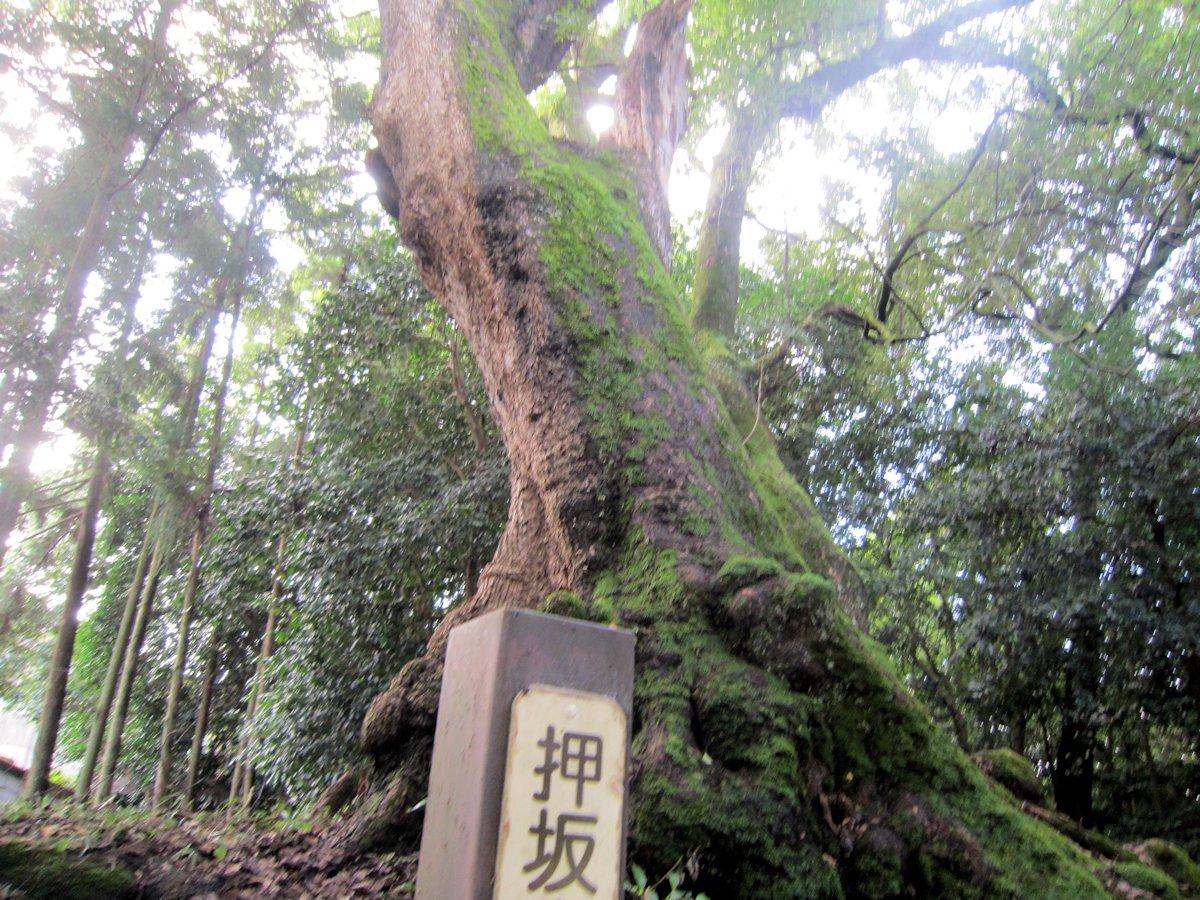 忍坂山口坐神社の楠