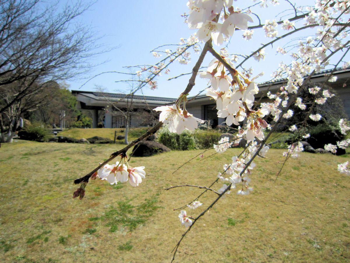 持統天皇ゆかりの桜