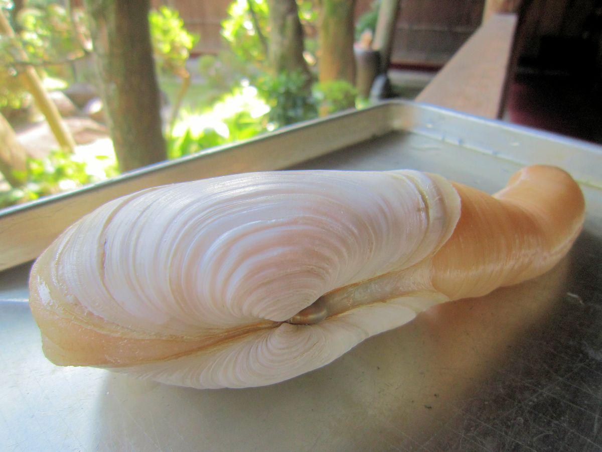 ナミガイの貝殻