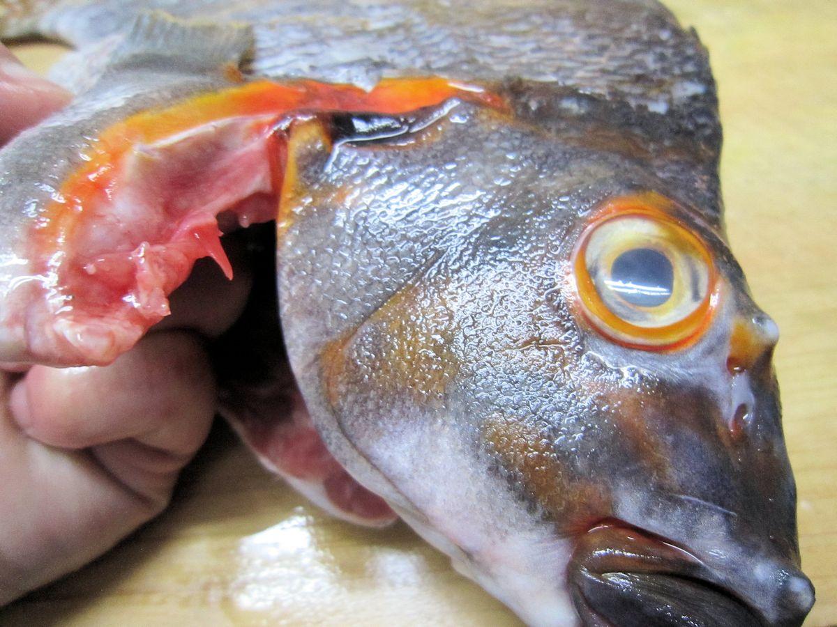 タカノハダイのオレンジ色鰓蓋