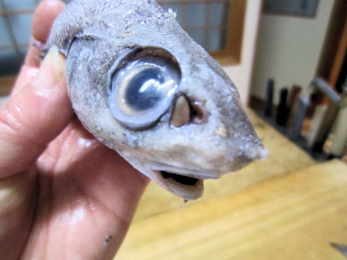 ヘリダラ・縁鱈