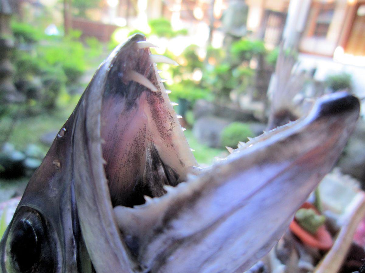 カゴカマスの歯