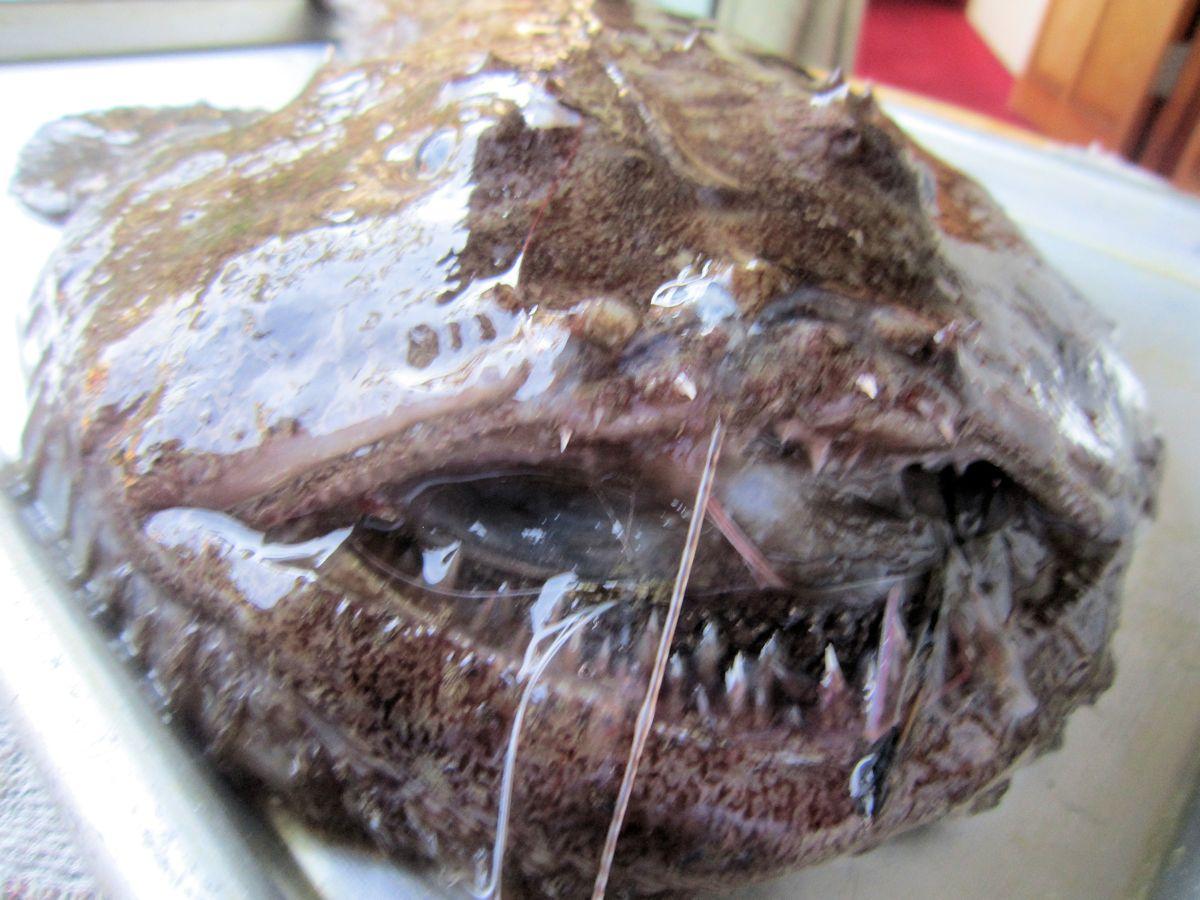 キアンコウの歯