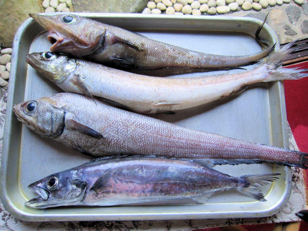 深海魚オキギス