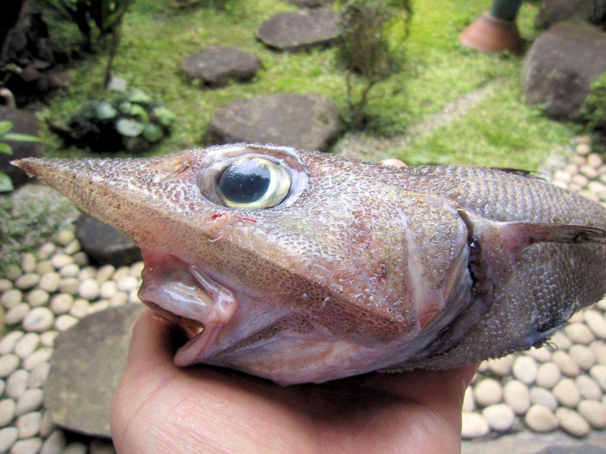 深海魚トウジン