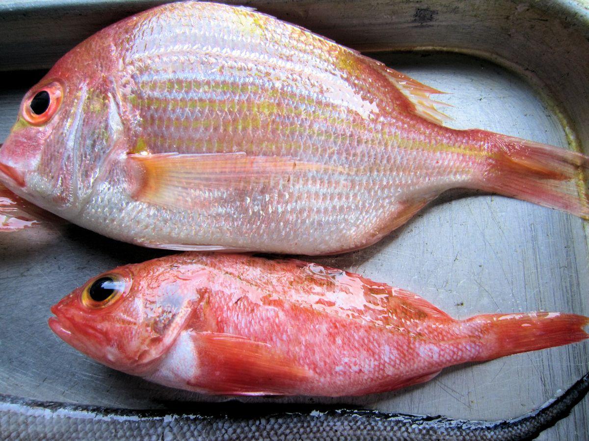 レンコ鯛とユメカサゴ
