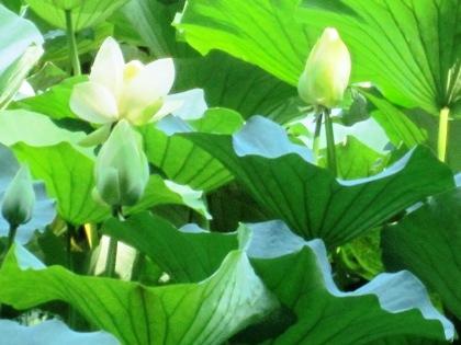 石上神宮の蓮花