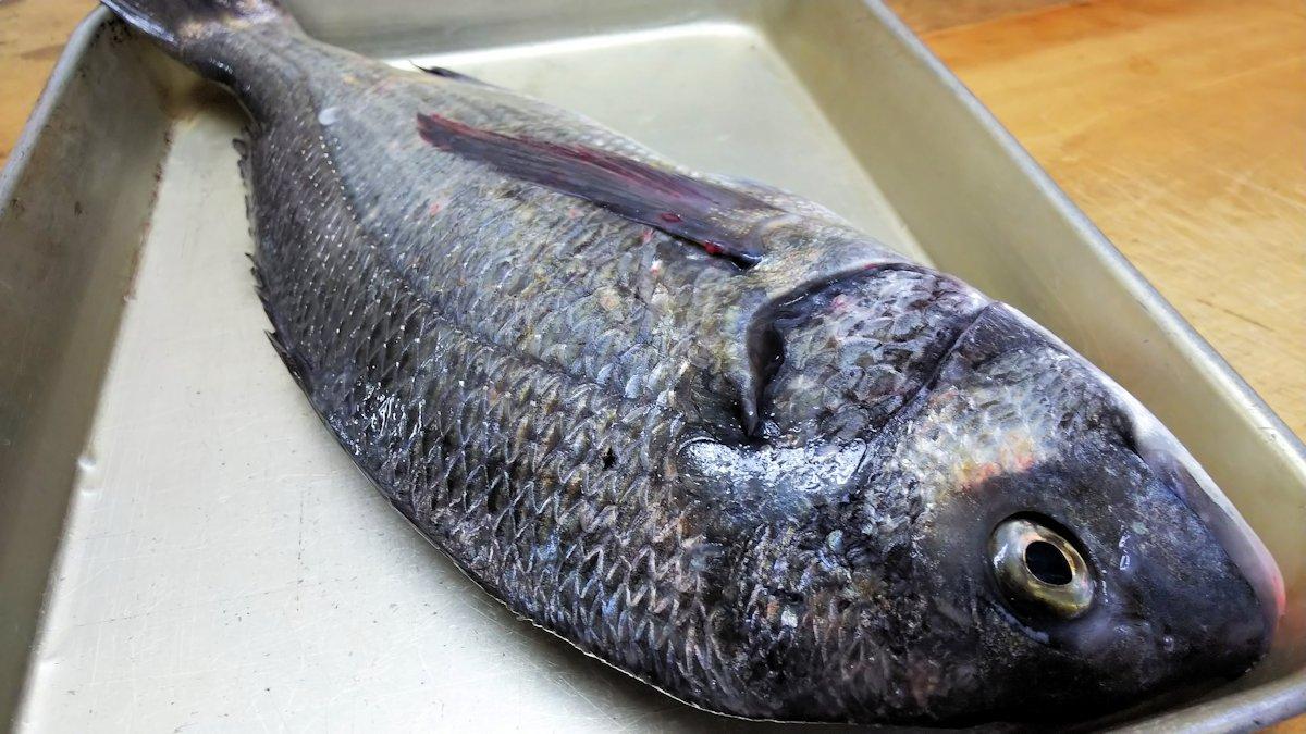黒鯛・チヌ