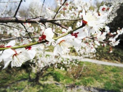 山の辺の道の桜