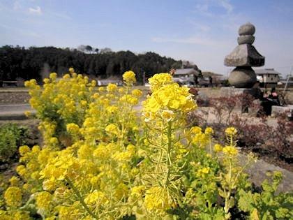 入鹿の首塚と菜の花